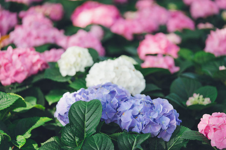 Flower Flowering Plant Freshness Plant Beauty In Nature Plant Part Fragility Vulnerability  Leaf Petal Growth Close-up Hydrangea Pink Color Inflorescence Nature Flower Head Park - Man Made Space No People Park Lilac Outdoors Lantana Springtime Purple