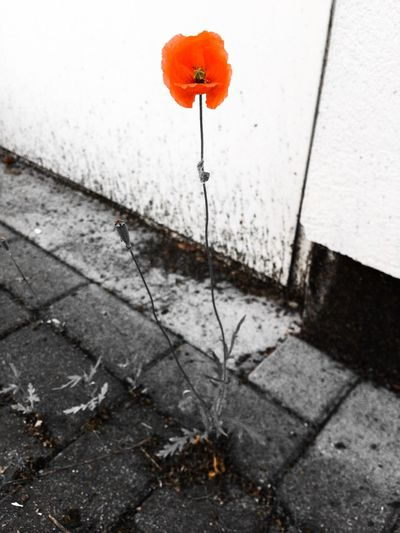 The lonely poppy. Black And White With A Splash Of Colour Blackandwhite Flower IPhone