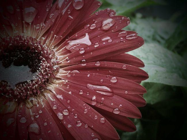 Water Wet Drop Flower Petal Beauty In Nature Rain Flowers,Plants & Garden Home Sweet Home