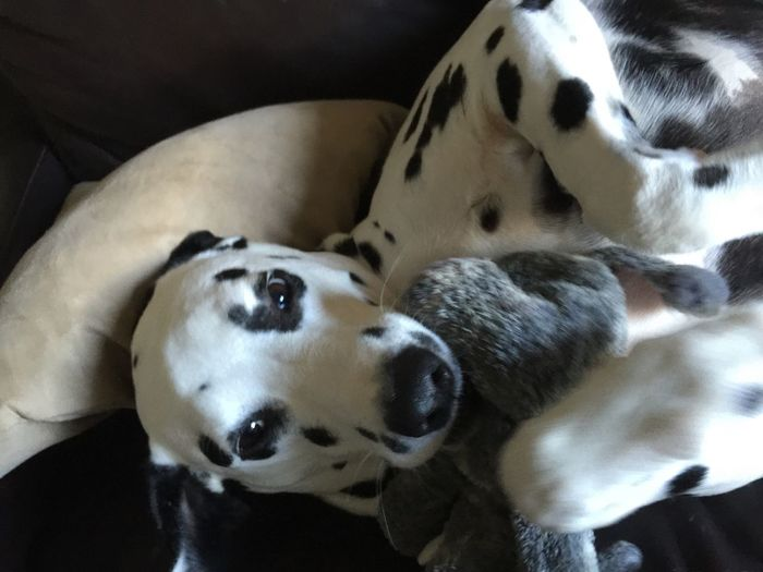 We love our elephant toy. Pet Portraits Animal Themes Dog One Animal Pets No People Close-up Relaxation Dalmatians Dalmatian Dalmatian Dog