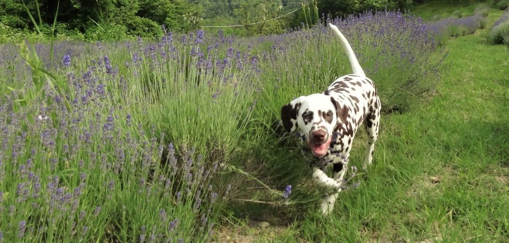 Animal Themes Dalmatian Dalmatian Dog Dalmatian Puppy Dalmatians Dalmatiansofeyem Dalmatiansofinstagram Dog Domestic Animals Field Italy Lavender Lavender Field Mammal One Animal Pets Pup Puppies Puppy Puppy In Field