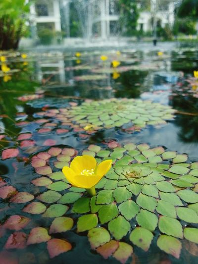 Pond Water Feature Up Close Fountain Lily Pad Lilypads Low Angle View Lake Flower Yellow Flower Yellow Green Leaf Leaves Water Water Reflections Water Plant Small Petals Water Leaf Nature Reflection Floating On Water Outdoors Water Lily