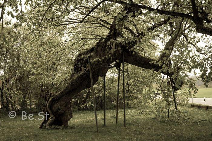Linde in Kasberg. Über 600 Jahre alt
