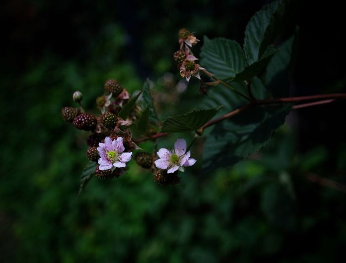 Brombeeren FUJIFILM X-T2 Pentax 28mm 2,8 Old Lenses Blackberry Flower Plant Flowering Plant Beauty In Nature Growth Nature Close-up Freshness No People
