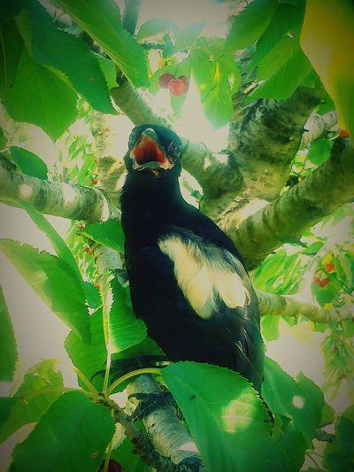 My always talking harvest helper Crow Corvus Albus Baby Crow Bird Photography Bird
