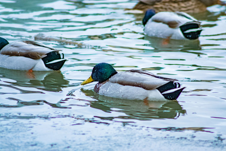 Close-Up View Of Ducks In Water