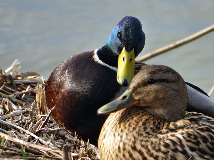springtime😉💕 Flirt Ducks In Love🤗🙄 Love In The Air For My Friends😚 Flirty Eyes Country Life Beauty At My Doorstep Idyllic Scenery Lucky Me🦄 Listen To Your 💓 Beauty In Nature Couples❤❤❤ Duckslove Close-up