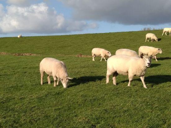 303/365 Bei der Arbeit Grass Domestic Animals Cloud - Sky Sheep Grazing Flock Of Sheep Day Animal Themes Nature Togetherness Sky Eyeemhetlingen Eyeemgermany Photo365 Bilsbekblog Photooftheday Sorcerer86 Xiaomiography Xiaomiredmi4prime