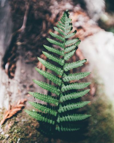 Fern California Bestoftheday Best Of EyeEm Best EyeEm Shot Best Shots EyeEm Green Color Growth Plant Close-up Nature Tree No People Beauty In Nature Coniferous Tree Plant Part Selective Focus Pine Tree Leaf Outdoors Needle - Plant Part Succulent Plant Focus On Foreground