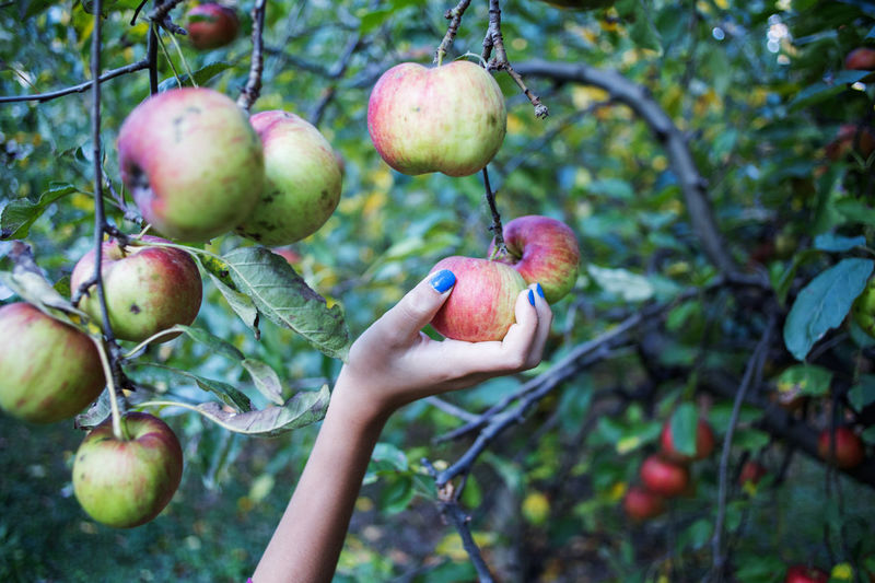 Cropped hand of woman holding apple on tree