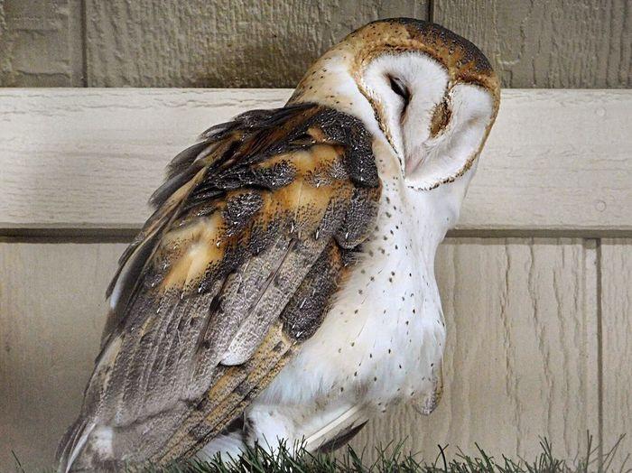 EyeEm Selects Owls Owl Day Zoo Animals  Zoo Photography  Birds_collection Birds Of EyeEm  ZOO-PHOTO Bird Photography Birds Of EyeEm  Birds Of Prey