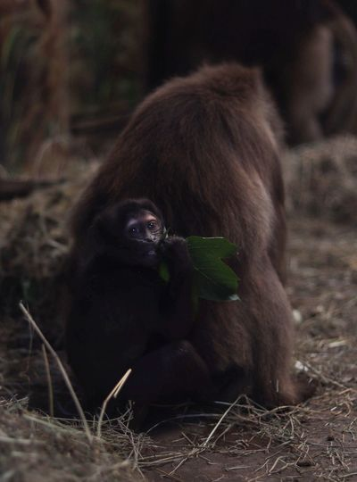 Brown gelada monkey sitting with its mother