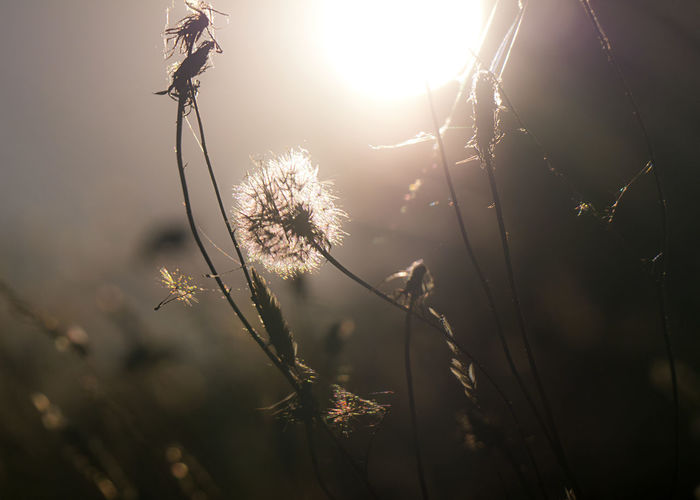 Close-up of dandelion against bright sun