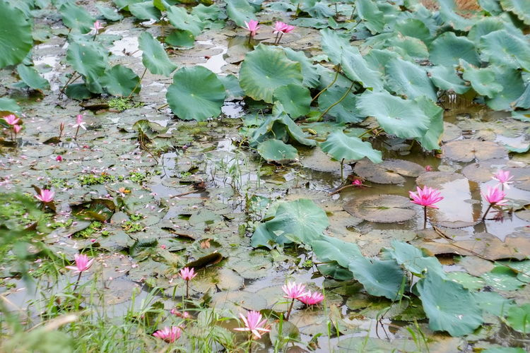 Nature Beauty In Nature Green Color Growth Fragility Plant No People FlowerFreshness Lotus Lotus Pond Lotus Water Lily Lotus Flower Outdoors High Angle View Hanging Out Taking Photos From My Point Of View EyeEm Best Shots EyeEmBestPics Hello World