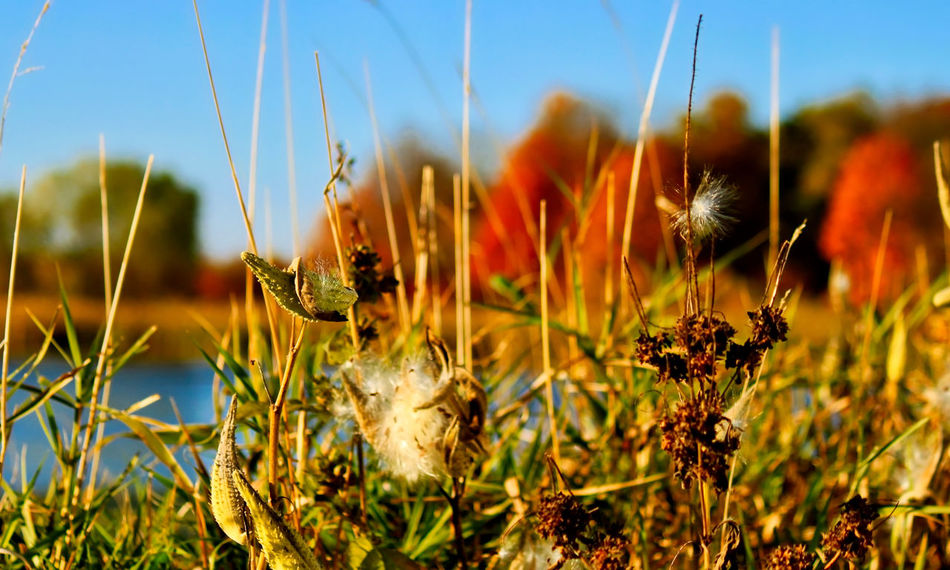 Close up view of dead grass and weeds along an Indiana forest preserve pond during season of autumn. Autumn Colors Indiana Nature Photography Pond Beauty In Nature Brown Close Up Photography Close-up Day Dead Leaves Fall Season Flower Focus On Foreground Fragility Grass Growth Nature No People Orange Color Outdoors Plant Sky Tree Lined Water Weed