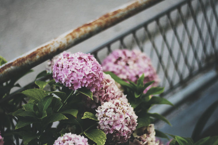 Close-up of pink flowering plants on railing