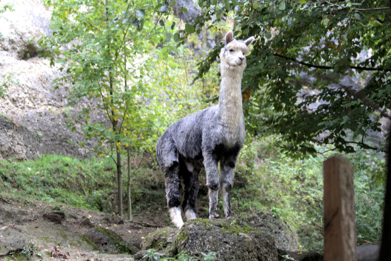 Low Angle View Of Lama On Rock Against Trees