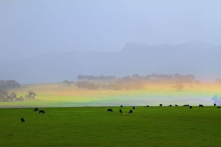 Timing was everything to capture this horizontal rainbow in a valley of the Porongurup National Park on the first day of Spring with cattle grazing in the foreground. It was an amazing sight. Animal Animal Themes Animal Wildlife Animals In The Wild Beauty In Nature Cattle Near Rainbow Cows Grazing Environment Field Fog Grass Group Of Animals Horizontal Rainbow Land Landscape Large Group Of Animals Mountain Background Nature No People Outdoors Plant Rainbow Scenics - Nature Sky Tranquil Scene