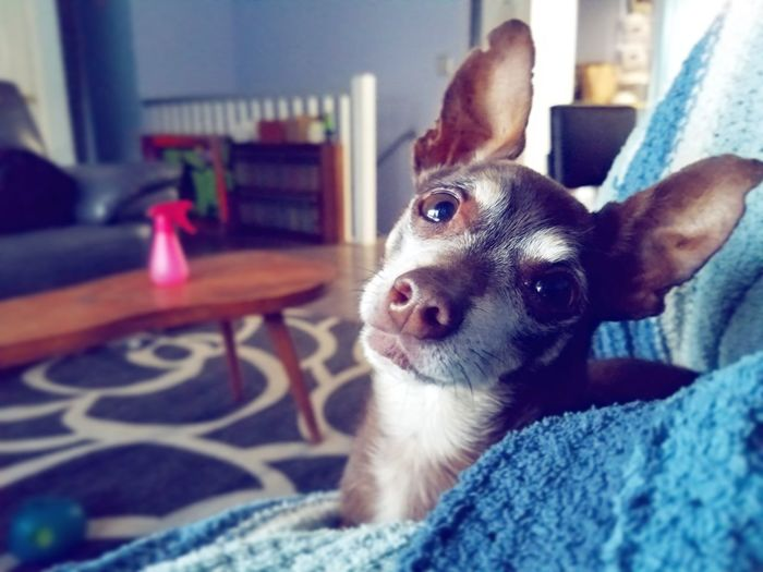 Relationship Funny Faces Family Pet Dogs Love Pet Portraits Blanket Love Pets Portrait Dog Home Interior Close-up Chihuahua Chihuahua - Dog Lap Dog Small