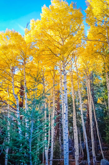 Majestic Trees of An Enchanted Forest Golden Paint The Town Yellow Autumn Beauty In Nature Blue Sky Change Day Flash Of Green Forest Fresh Glowing In The Sun Leaf Low Angle View Nature No People Outdoors Scenics Seasonal Sky Tree White Tree Trunks Yellow