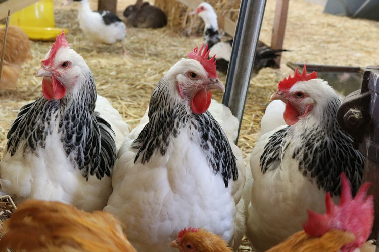 Chıcken Friendnotfood Farming