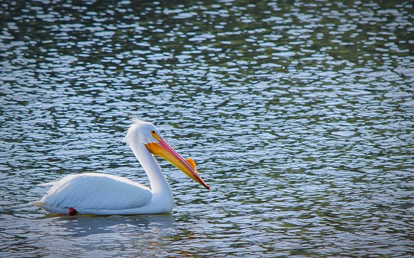 I'm always amazed at the abundance of wildlife so close to the city. Beautiful day to watch the American White Pelican. Wildlife Nature Hiking Ocean Birds EyeEm Best Shots Urban Nature in San Francisco