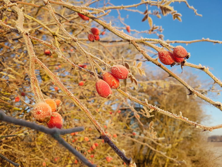 Nature Tree Plant Beauty In Nature Fruit Red EyeEm Nature Lover Hip Rose Hip Rose Hips Wild Brier Macro Macro Photography Macro Nature Macro Branch Stalk Stem Sky Focus On Foreground EyeEm Best Shots Cold Ice