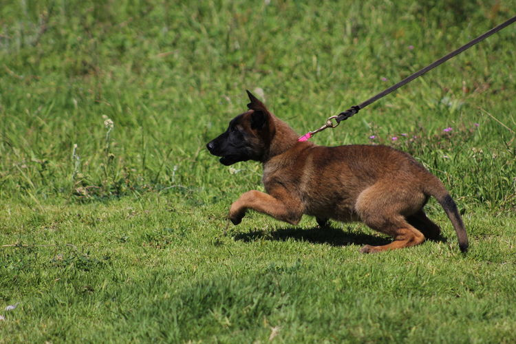 Side view of malinois puppy on grass