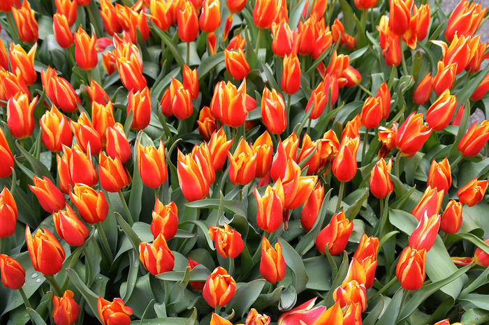 Backgrounds Beauty In Nature Bloom Blossom Close-up Day Detail Flower Flower Head Fragility Freshness Gray Weather Keukenhof Lissabon Nature No People No Sunshine Orange Color Outdoors Plant Tulip Tulip Field Vibrant Color