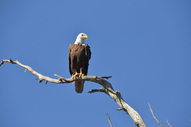 Bald Eagle Animal Themes Animal Wildlife Animals In The Wild Bald Eagle Beauty In Nature Bird Bird Of Prey Blue Branch Clear Sky Day Full Length Low Angle View Nature No People One Animal Outdoors Perching Sky Tree