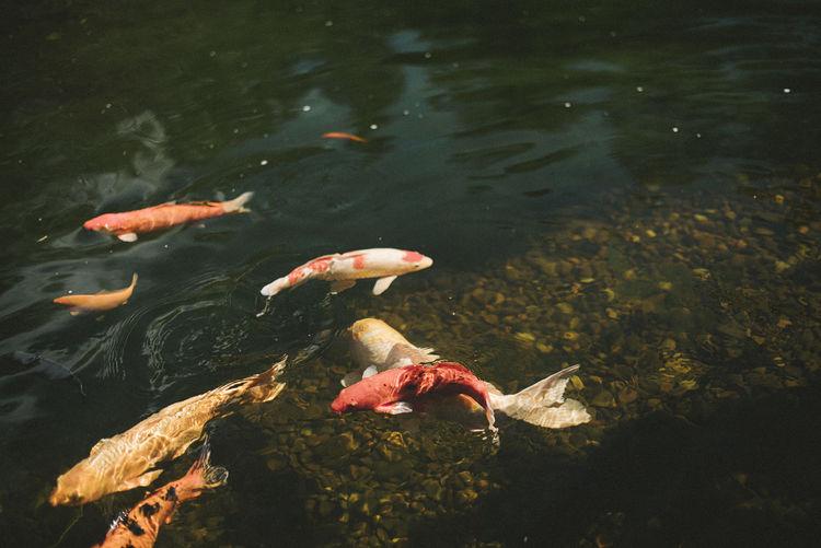 High angle view of koi carps swimming in lake