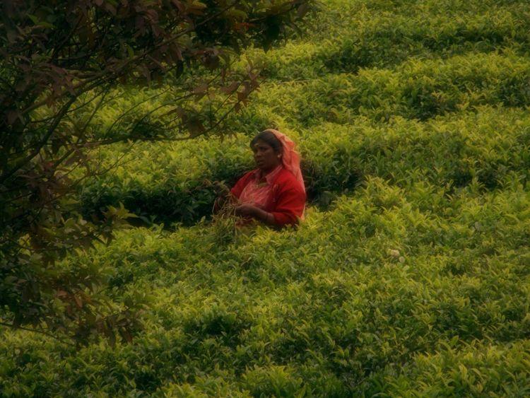 Tea Plantations Landscape Field Work Work