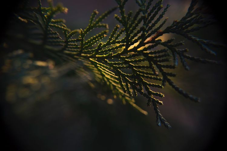 Close-Up Of Plant During Sunset