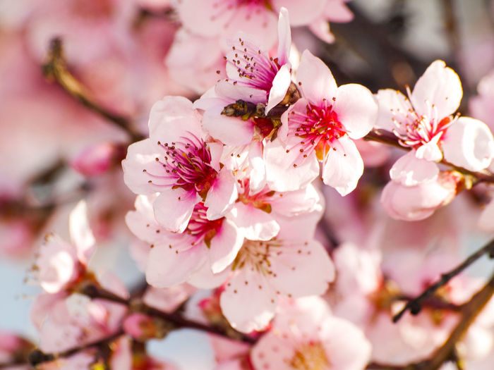 Almond Almond Blossom Almond Tree Almond Tree Beauty In Nature Blooming Blossom Botany Branch Close-up Flower Fragility Freshness Growth Nature No People Orchard Petal Pink Color Selective Focus Springtime Stamen Tree Twig White Color