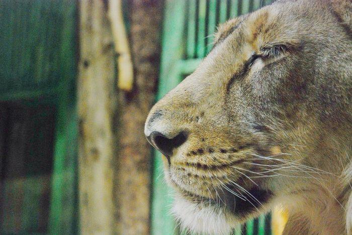 Lion Wildlife Wildlife & Nature Zoo Animals
