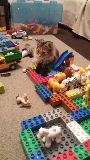 Nexus5 Nexus5photography No Edit/no Filter Ermione LEGO Colori Colours Gatto Siberiano Cat Siberian Cat Gatto