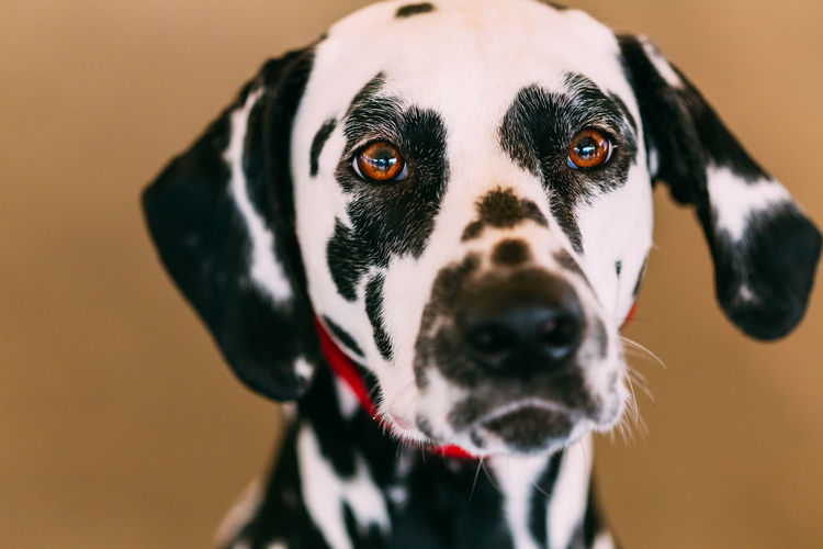 Close up of the face of a dalmatian dog. Beautiful Dalmatian dog head portrait with cute expression in the face Animal Themes Animal Canine Dog Pets Black Color Dalmatian Dog Animal Eye Dalmatian Black White Doggy Friend Animal Nose Animal Head  Spotted Cute My Best Photo
