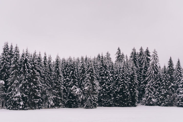 Pine trees on snowy field against clear sky