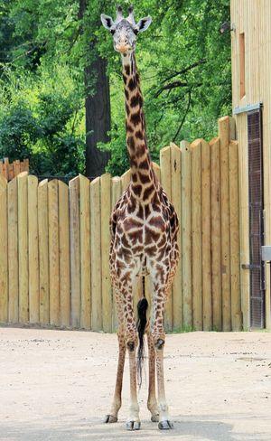 Baby Giraffe Cute Giraffe Giraffe Outdoors Young Adult Zoo Animals