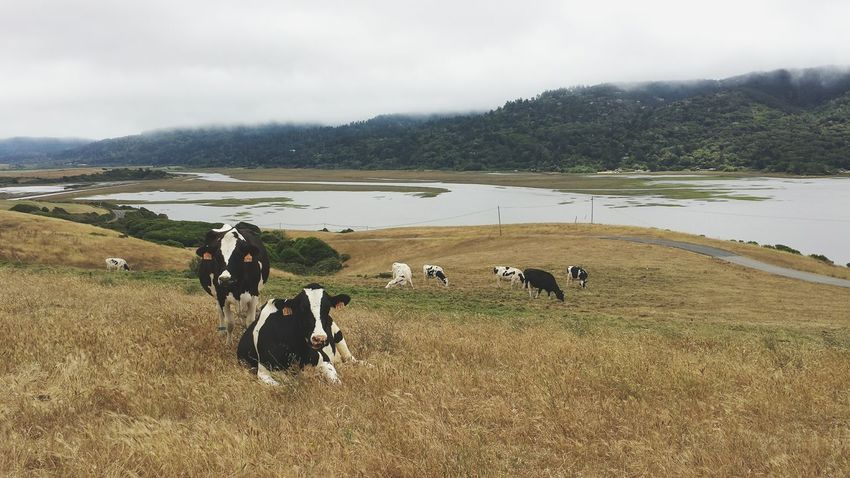 Happy cows, happy cheese. Cattle Cow Dairy Farm Free Range Cheese Dairy Farm California Field Nature Animals Outdoors