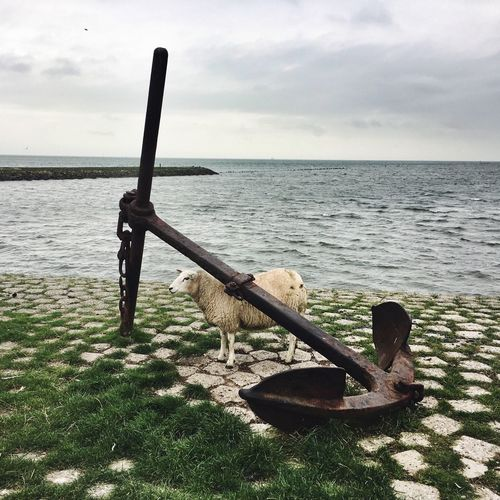 Sheep by anchor at sea shore against sky