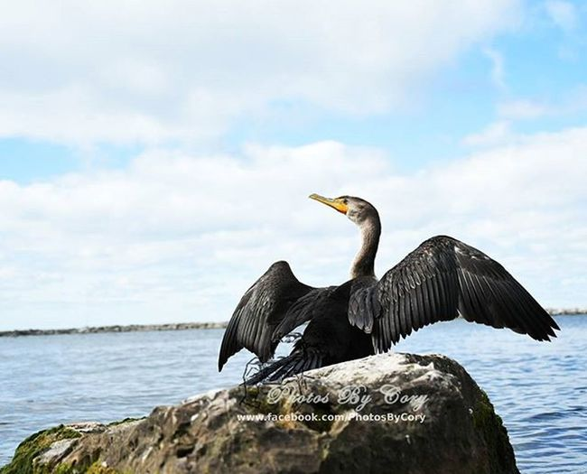 What a show off. Bird Birdsplanet Birdlover Birds Animallover Animal_captures Wildlife_perfection Birdsofinstagram Phalacrocorax Puremichigan PMContest2015 Luckywiththeanimals
