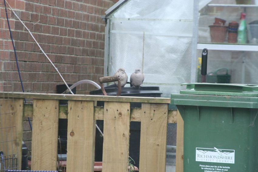 Collared Doves Photography Streamzoofamily Check This Out Bird Photography Nature_collection Birds_collection Springtime Birds Hanging Out Taking Photos