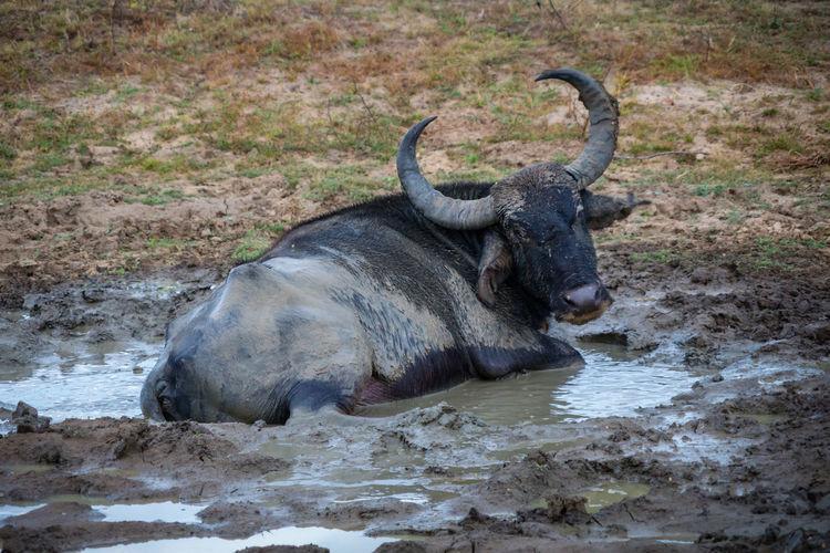 Buffalo In Muddy Water