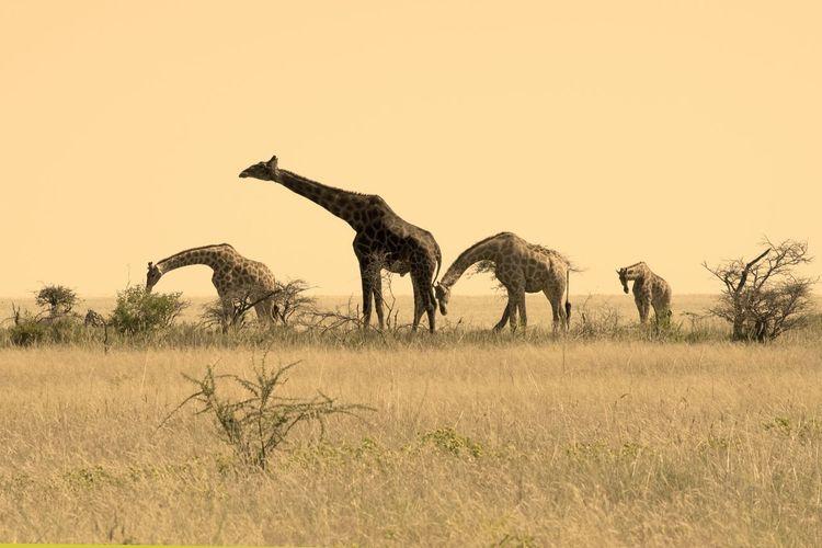 Wild Namíbia Etosha National Park Photooftheday Africa Travel Destinations Awesome_shots Nature_collection Eeyem Photography Natgeotravel Wildlife Natgeowild Nature Photography Nature_perfection Wilderness Nikon Namibia Safari Animals Sky Giraffe Savannah