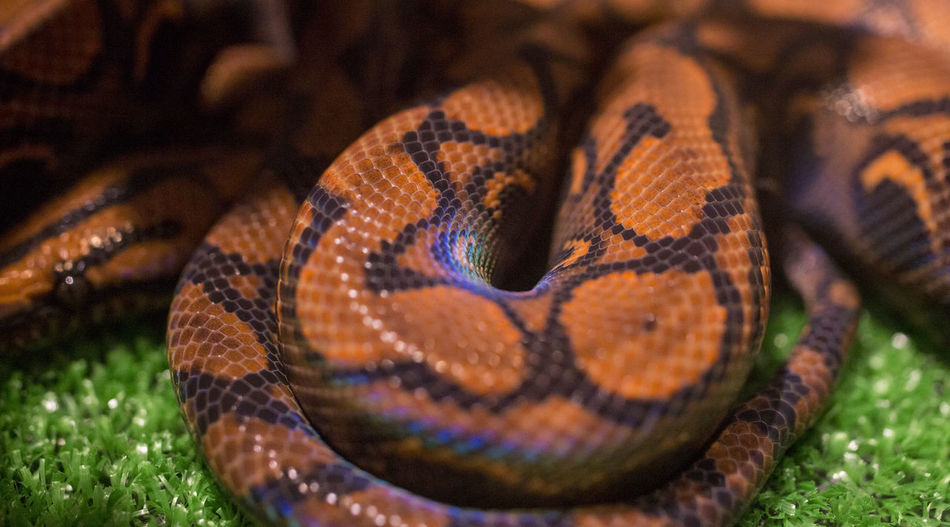 Animal Themes Animal Wildlife Animals In The Wild Beauty In Nature Close-up Nature One Animal Reptile Snake Snake