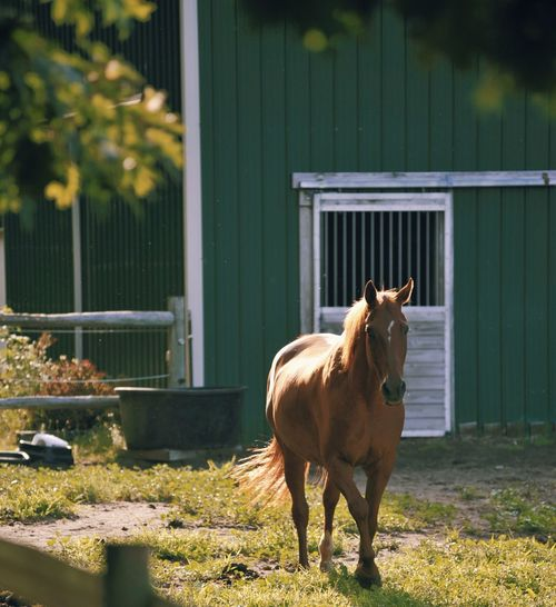 Horse standing on field against stable