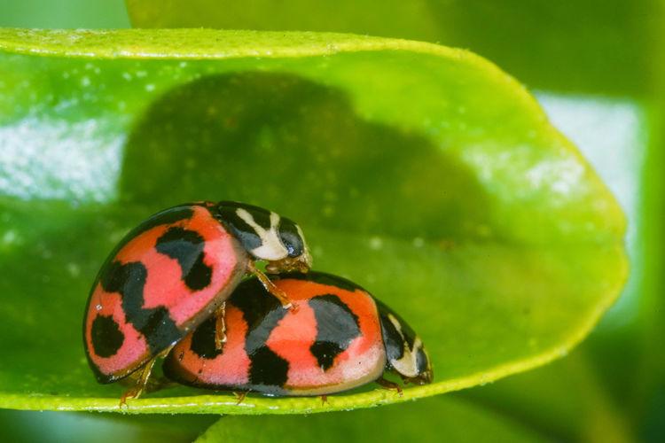 六條瓢蟲交尾 Multi