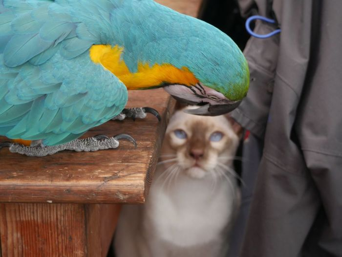 Close-up of parrot and cat