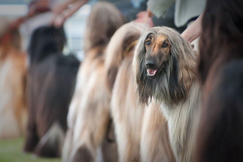 Afghan Afghan Hound Canine Dof Dog Dog Show Dogs Domestic Animals Focus On Foreground Mammal Pets Shallow Focus